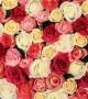 عکس های گل رز زیبا و جذاب در رنگ های مختلف