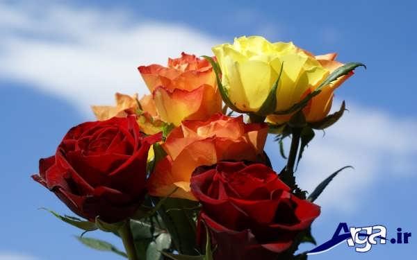 رنگ های متنوع گل رز