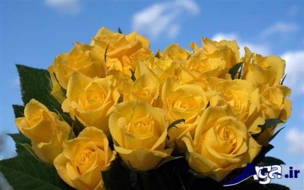 عکس دسته گل رز زرد در طبیعت