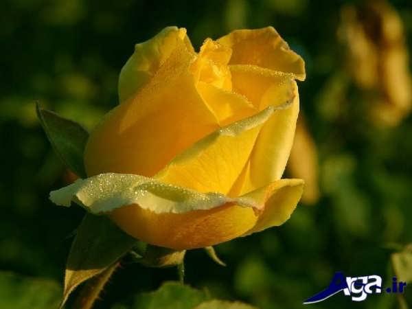 عکس های گل رز زرد زیبا