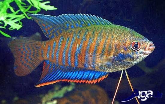 عکس ماهی های زیبا گورامی راه راه