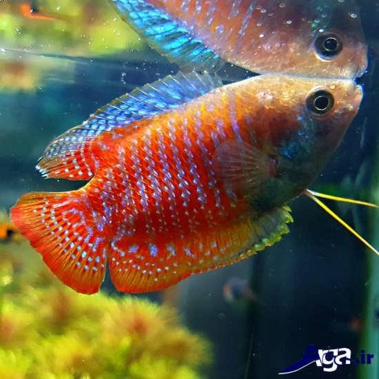 عکس ماهی های زیبا گورامی کوتوله