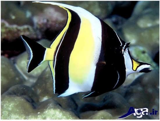 عکس ماهی بسیار زیبای موریش