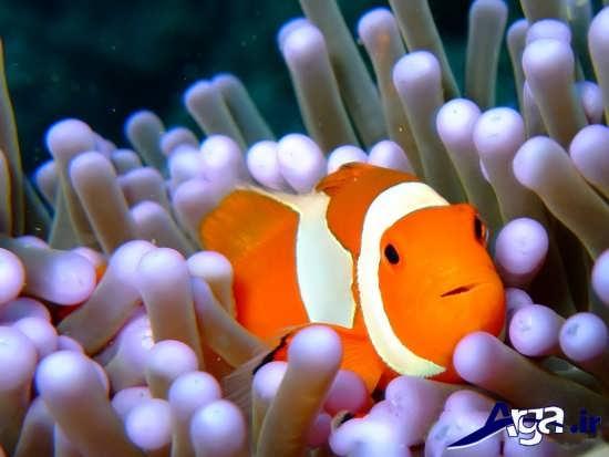 عکس ماهی های زیبا دلقک ماهی