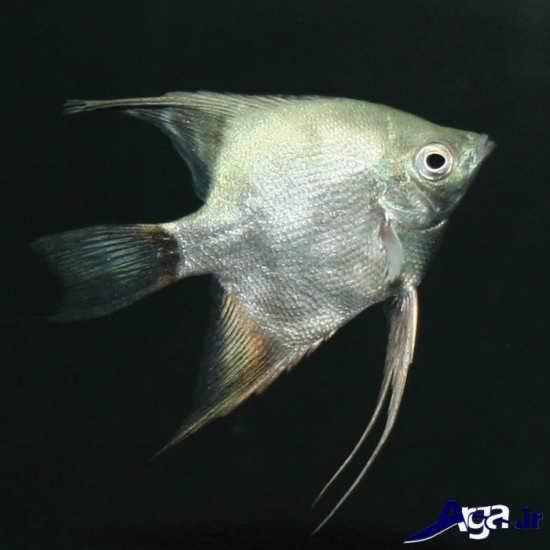 عکس ماهی های زیبا فرشته ماهی