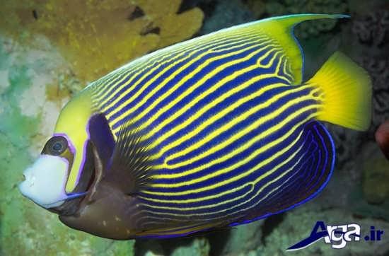 عکس ماهی های زیبا فرشته امپراتور