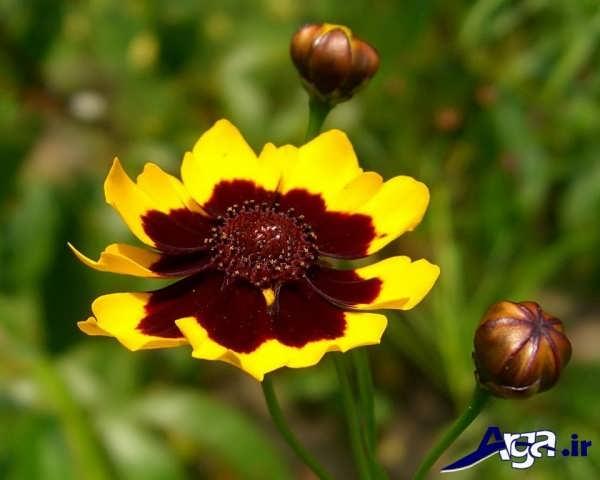 تصاویر گل های زیبا اشرفی
