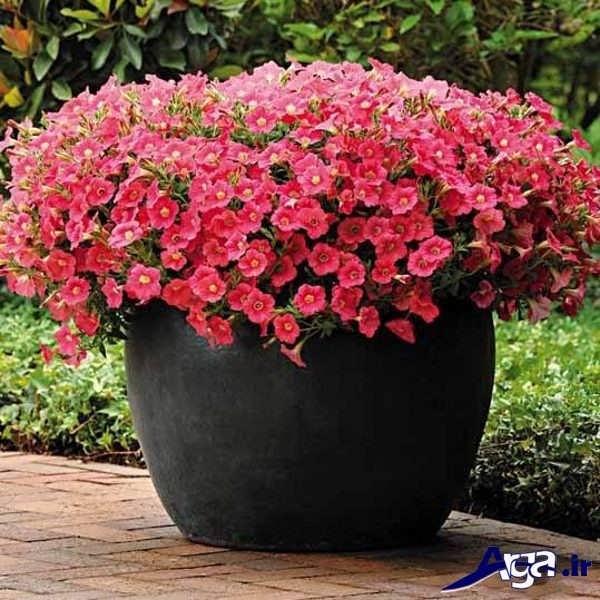 تصاویر گل های زیبا اطلسی