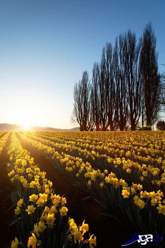 مناظر دشت های گل زرد زیبا