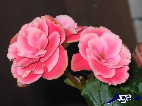 تصاویر گل های زیبا بگونیا