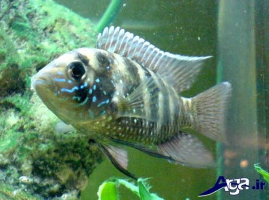 عکس ماهی های زیبا آکارا آبی