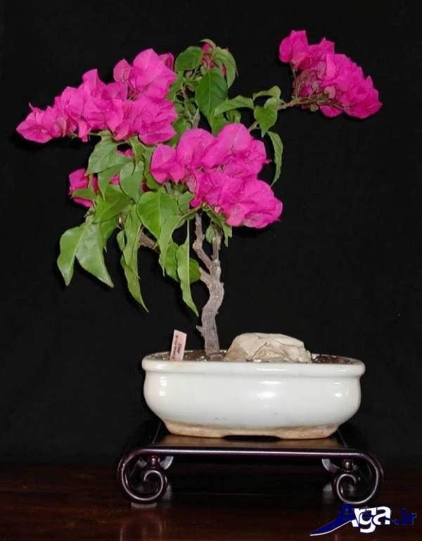 تصاویر گل های زیبا بونسای