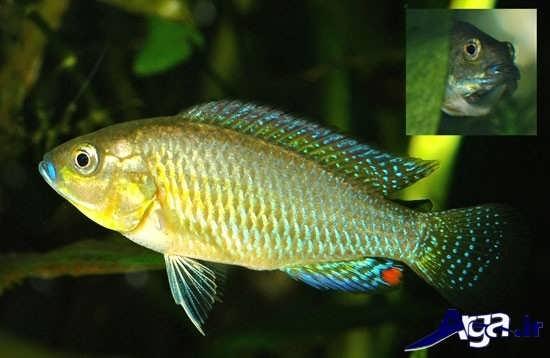 ماهی موث بریدر مصری