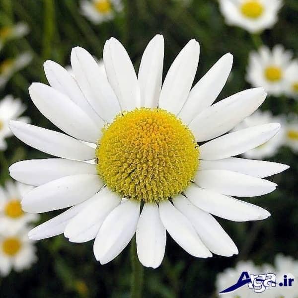 تصاویر گل های زیبا بابونه