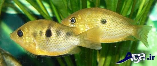 عکس ماهی های زیبا کروماید نارنجی