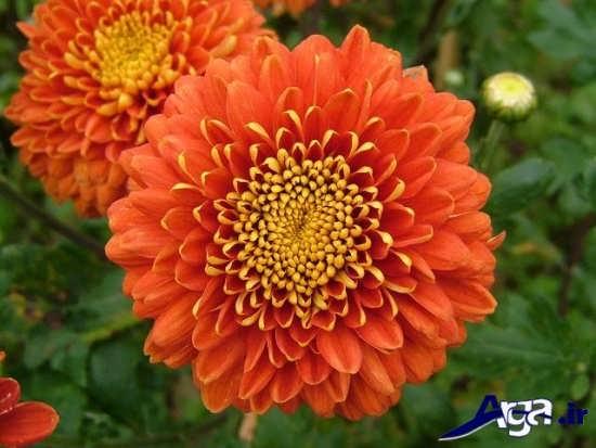 گل داوودی فوق العاده زیبا