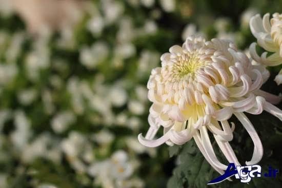 مجموعه عکس گل داوودی جذاب