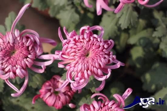 گونه های مختلف گل داوودی