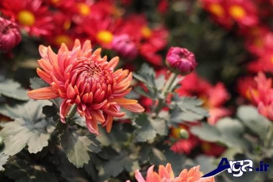 گل های داوودی زیبا و جذاب