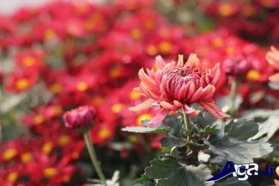 مجموعه جذاب گل داوودی