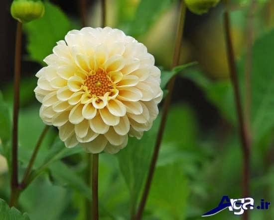 گل داوودی متنوع