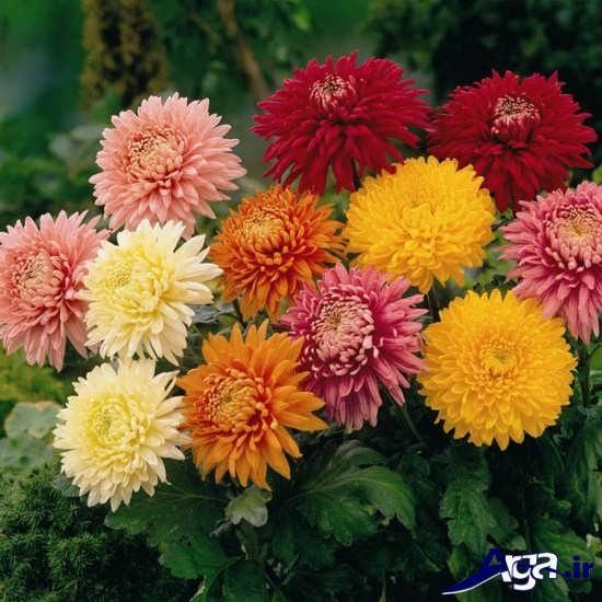 رنگ های مختلف گل داوودی