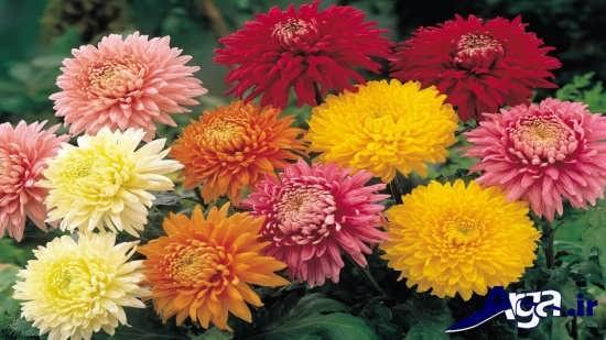 عکس های گل داوودی زیبا و جذاب
