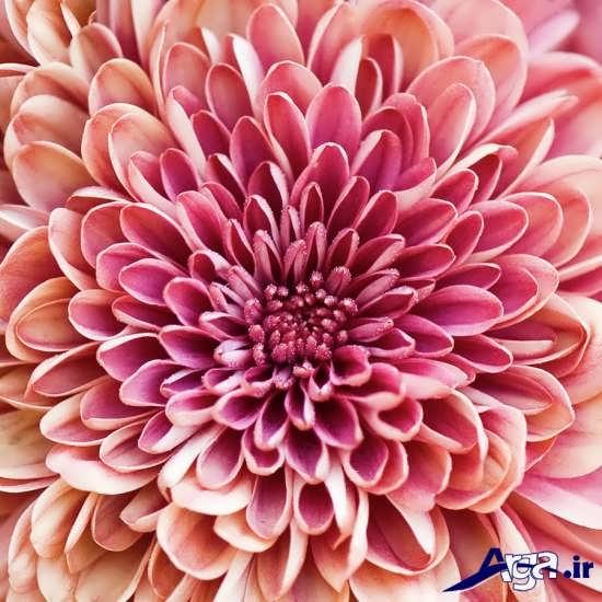 گل داوودی فوق العاده جذاب