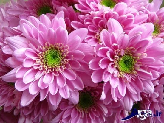 گل های صورتی داوودی