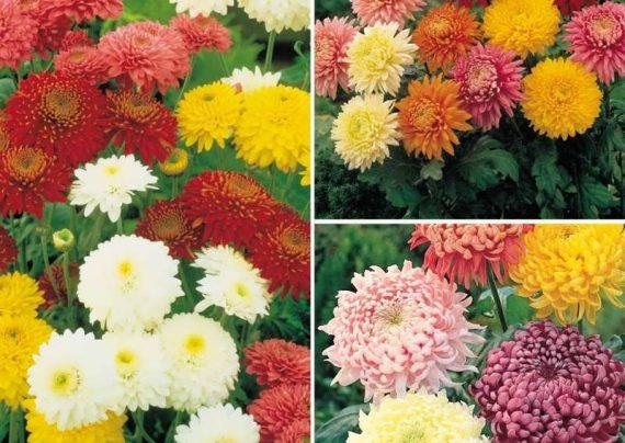 عکس گل های داوودی جذاب