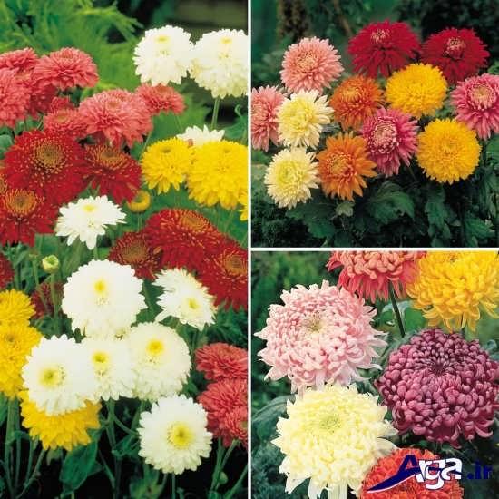 تنوع رنگ در گل داوودی