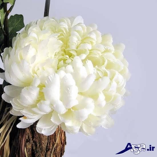 گل داوودی سفید