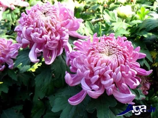 گل داوودی زیبا