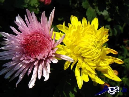 گل داوودی خوشرنگ