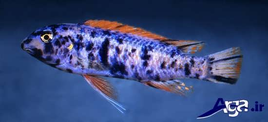 تری واس سیچلد ماهی