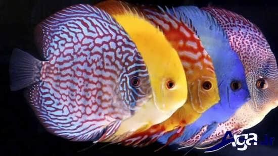 عکس ماهی های زیبا دیسکس