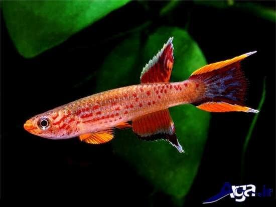 عکس ماهی های زیبا دم بر بطی
