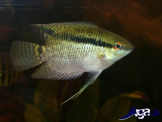 عکس ماهی سیچلاید پرچمی