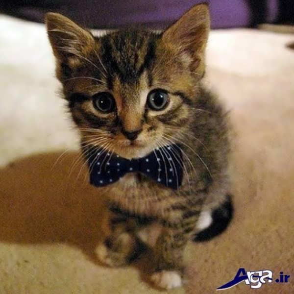 عکس های خنده دار 95 گربه پاپیون دار