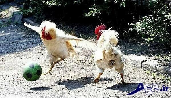 عکس های خنده دار 95 از مرغ
