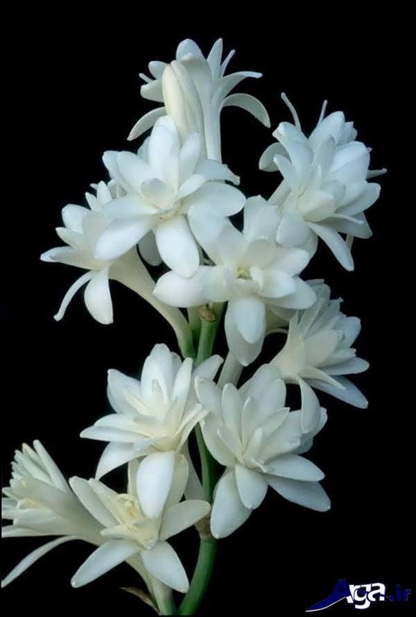 تصاویر گل های زیبا مریم