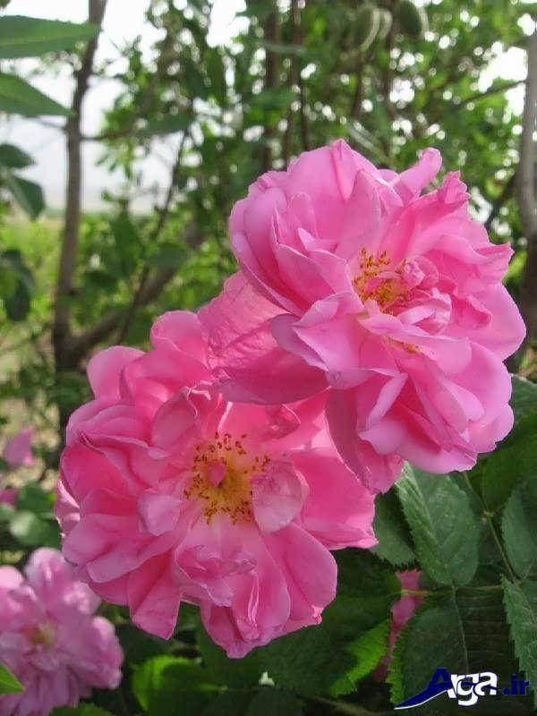 تصاویر گل های زیبا محمدی