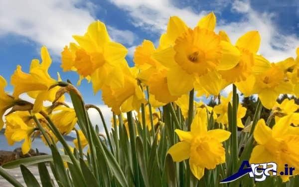 تصاویر گل های زیبا نرگس