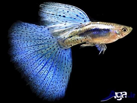 عکس ماهی زیبای گوپی