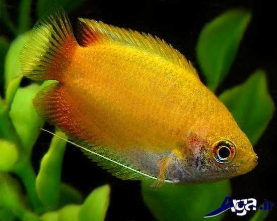 عکس ماهی زیبای گورامی عسلی