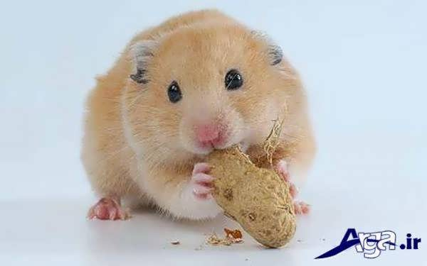 عکس همستر در حال تغذیه