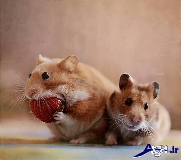 عکس همسترهای دوست داشتنی
