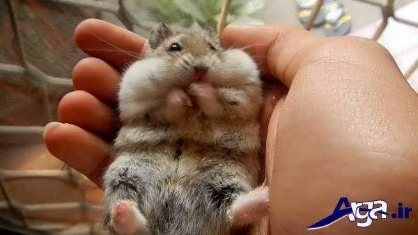 عکس همسترهای کوچک