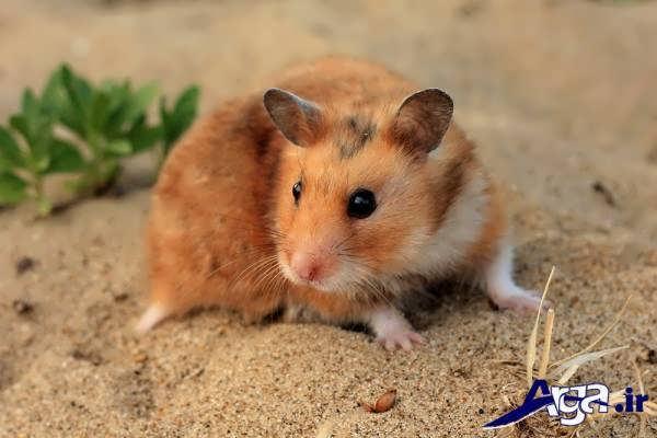 عکس همستر با نمک