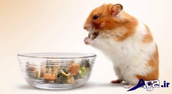 همستر و ظرف غذا